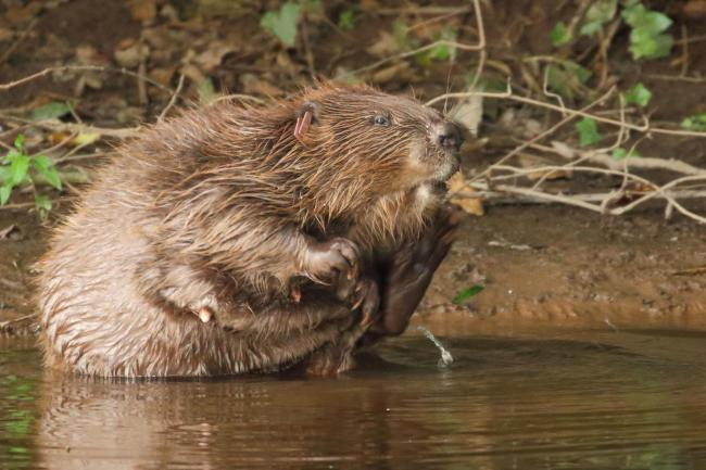Beavers taking a bite out of cricket