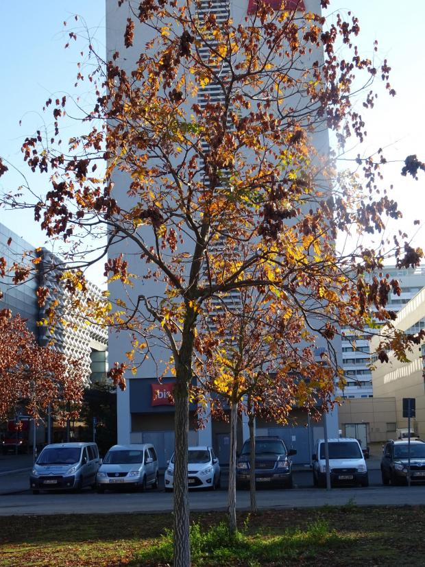 Forestry Journal: Koelreuteria paniculata growing in urban Dresden.