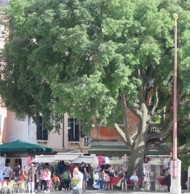 Forestry Journal: Mature Celtis australis in Venice.