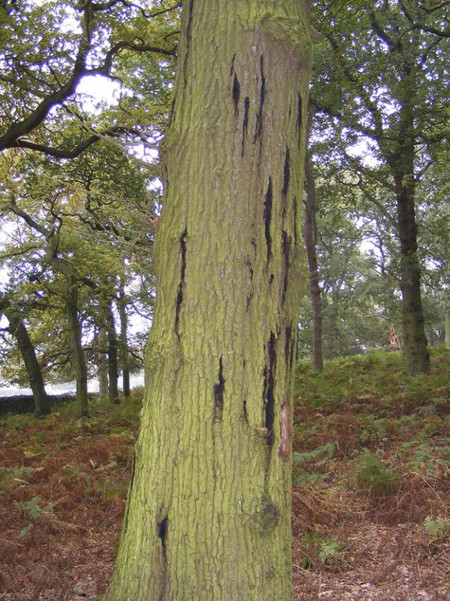 Forest Research wins funding for oak tree health research