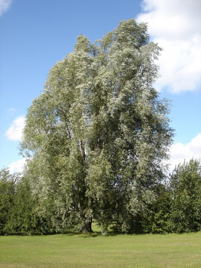 Willow – a living reservoir of 'Salicin' the precursor of asprin, the most widely used drug in the world.