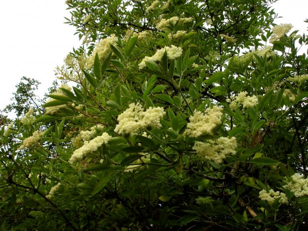 Forestry Journal: Sweet smelling flowers of common elder were carried in posies to ward off the plague.