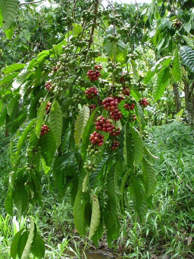 Forestry Journal: The South American Cinchona tree and source of quinine belongs to the Rubiaceae, a huge plant family of mainly evergreen trees which counts coffee (seen here) amongst its members.