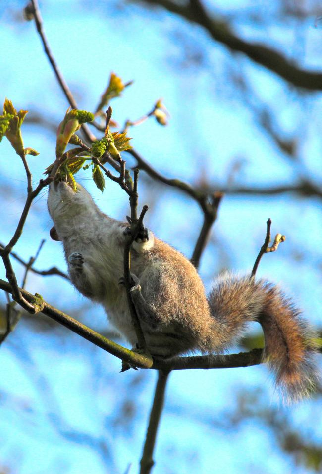 ESI questions latest grey squirrels update