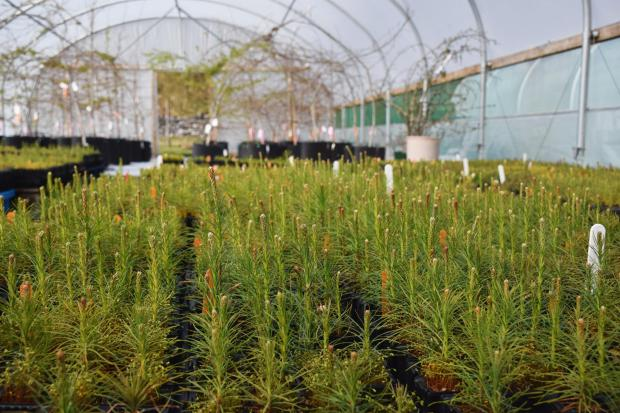 Forestry Journal: Scots pine growing in Trees for Life's polytunnel (picture copyright Chris Aldridge).