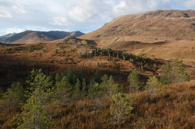 Forestry Journal:  Scots pine regenerating in Glen Affric.