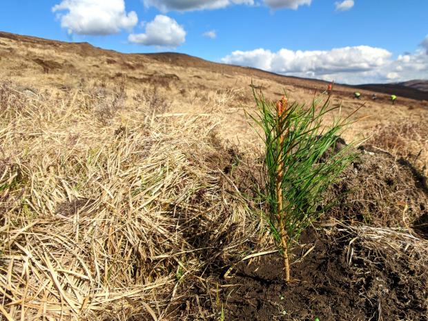 Forestry Journal: Young Scots pine planted at Dundreggan.