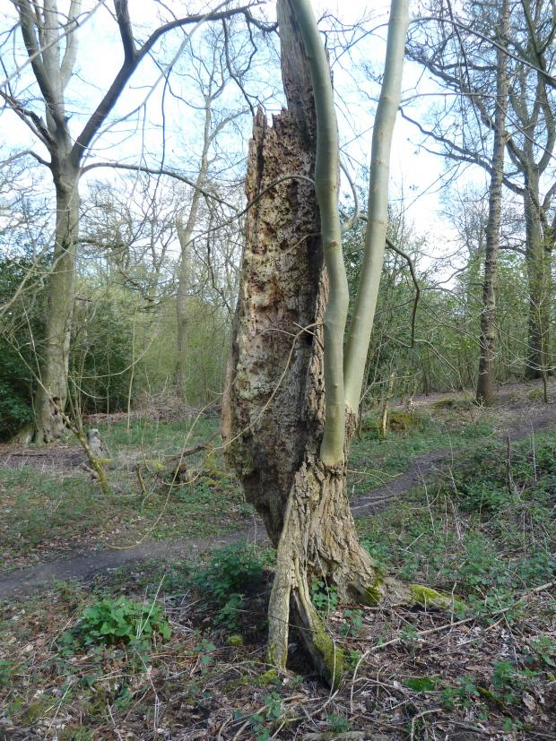 Forestry Journal: Fraxinus the Phoenix – common ash has the remarkable ability to grow back from apparent terminal failure.