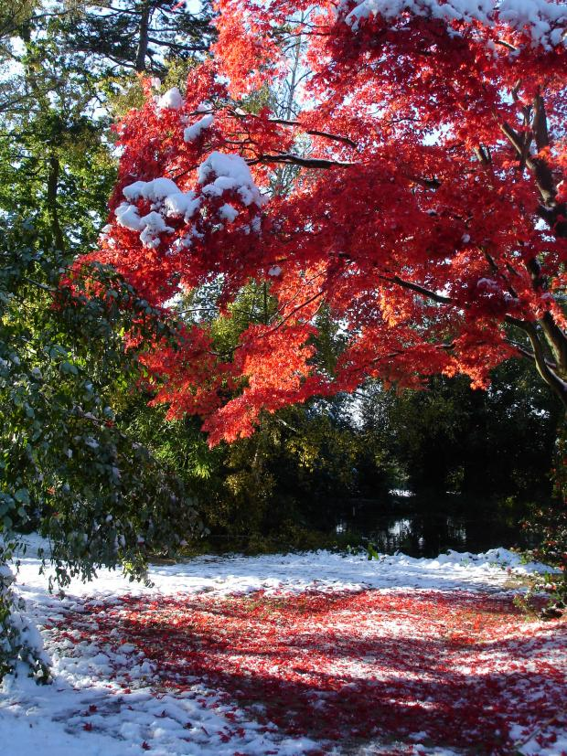 Forestry Journal: Japanese maple gives a flash of late autumn colour surrounded by abnormally early snowfall.