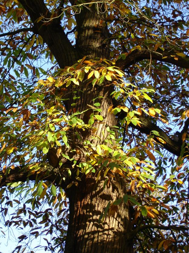 Forestry Journal: Autumn beckons the sweet chestnut tree.