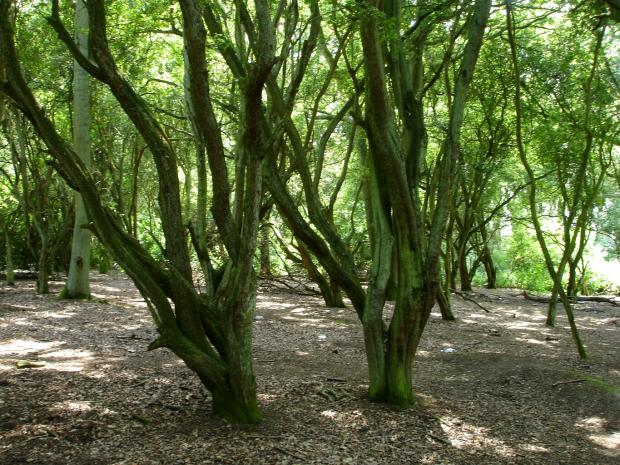 Forestry Journal: Deep inside Spoil Woods is an almost pure stand of very old hawthorn trees.