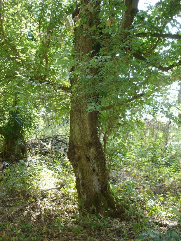 Forestry Journal: One of the large old field maples with a cbh (circumference at breast height) of 150cm, a common feature of small accidentally enclosed woodlands.