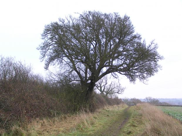 Forestry Journal: The Cubbington pear in the path of HS2, unceremoniously felled last month. (Picture credit: Warwickshire Museum.)