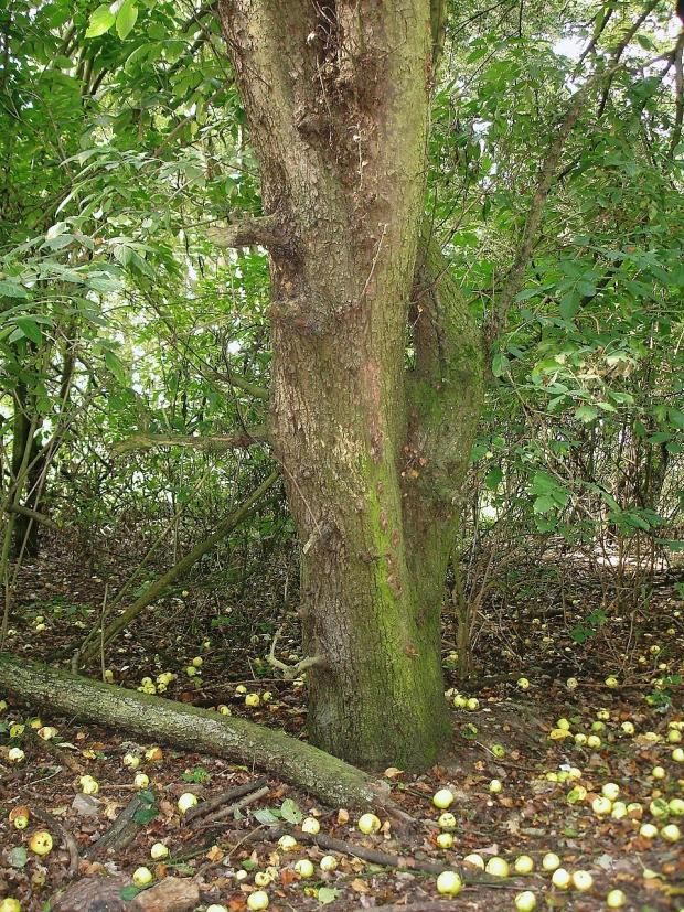 Forestry Journal: One of the old crab apple trees in Spoil Woods which according to H.L. Edlin are very characteristic of small, accidentally enclosed woodlands.