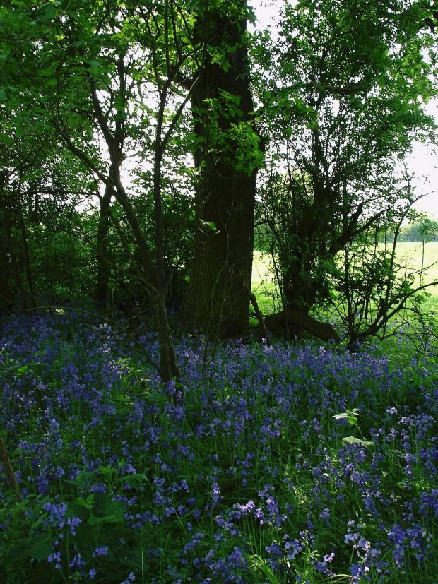 Forestry Journal: Later in spring, the floor of Spoil Woods is covered with English bluebells.