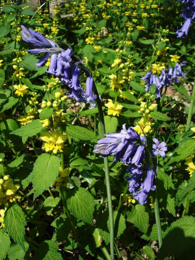 Forestry Journal: Bluebells and yellow archangel cover the woodland floor in spring. The yellow archangel is sufficiently profuse to perhaps be regarded as invasive.