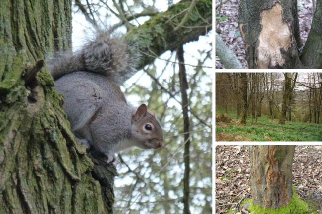 Grey squirrels cause a lot of damage – and amusement