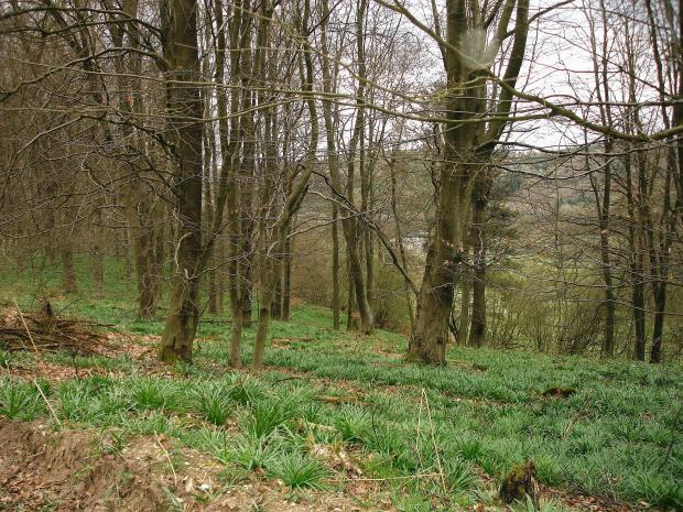 Forestry Journal:  Planted pure beech stand in the Surrey Hills – an increasingly rare option and sight across much of England due to damage by grey squirrels.