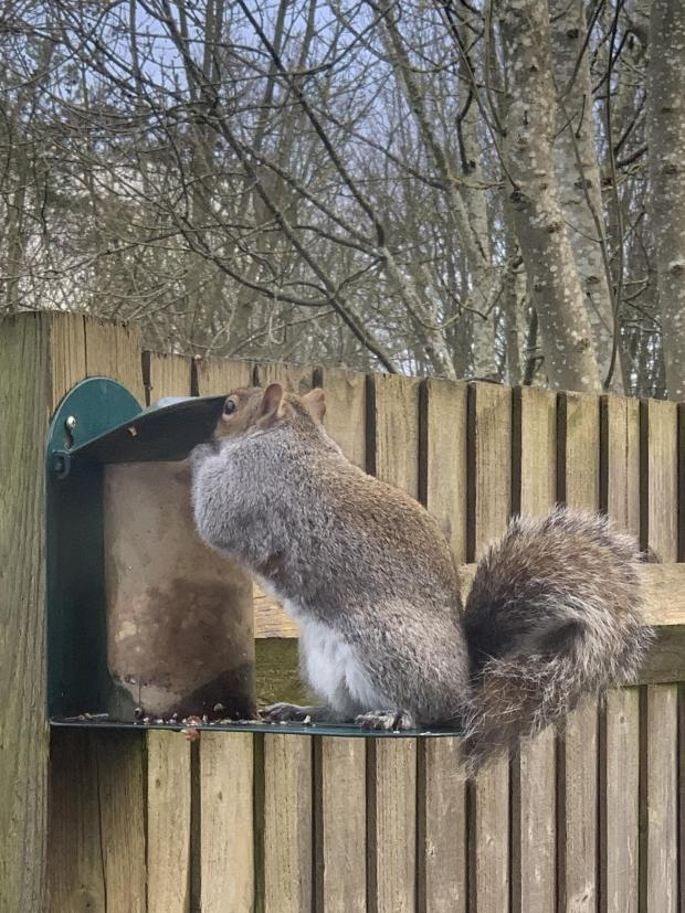 Forestry Journal: Grey squirrels which have an ambidextrous capability demonstrate superior mental performance (picture credit: Nicholas Mabbett).