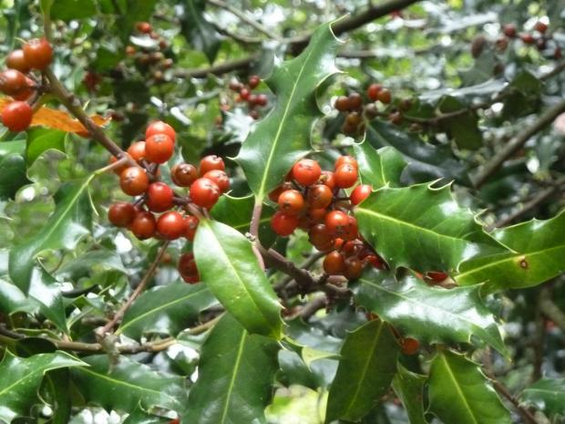 Forestry Journal: 'He-holly' with prickly leaves and bountiful with berries.
