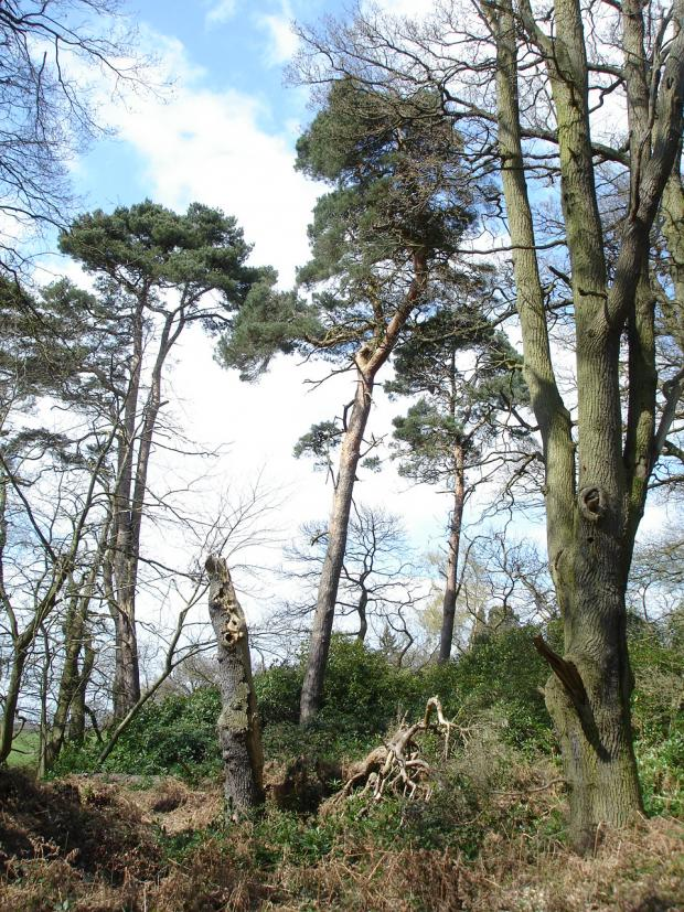 Forestry Journal: Ancient Britons had little choice when it came to conifers – apart from poisonous yew or diminutive juniper there was only Pinus sylvestris.