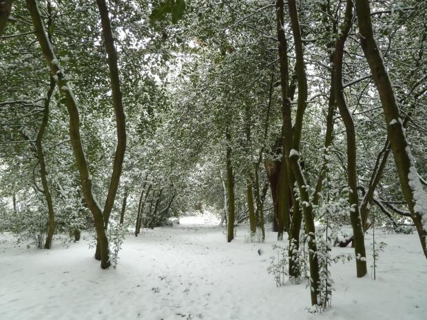 Forestry Journal: Inside a Victorian holly walk in the deep midwinter.
