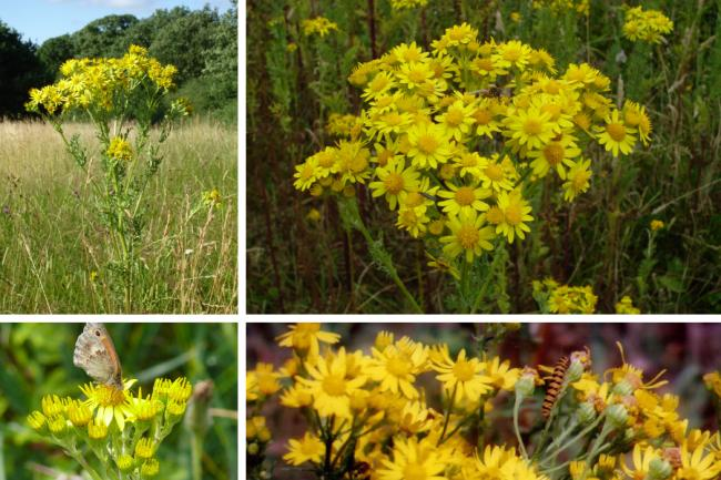Can ragwort really toxify tree-planting projects?