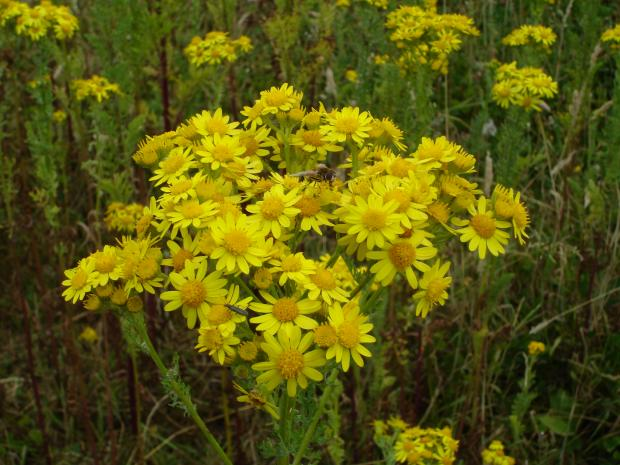 Forestry Journal: Ragwort is visited by a wealth of insects including dipterans – flies (centre) and coleopterans – beetles (lower left).