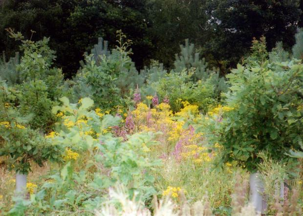 Forestry Journal: Ragwort and rosebay willowherb compete with planted trees.