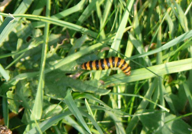 Forestry Journal: Cinnabar moth larva feeding on a ragwort leaf amongst the grass (image: Dr Roderick Robinson).