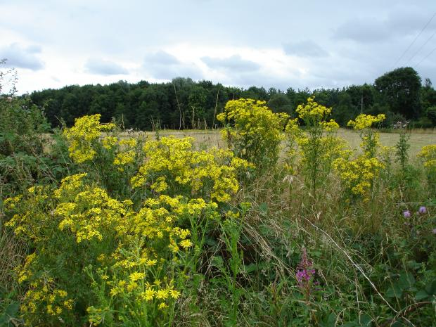Forestry Journal: Most people in the UK are familiar with ragwort, even if they don't know the plant by name. Sometimes you can't miss it.