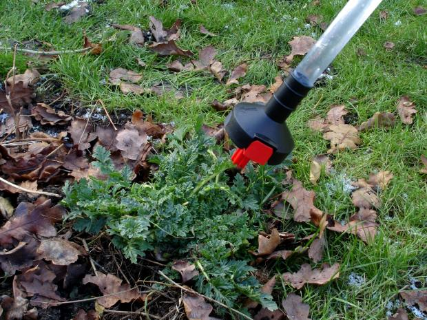 Forestry Journal: Handheld herbicide applicators are ideal for dispatching ragwort at the rosette stage.