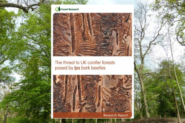 Report examines beetle threat to UK conifer forests